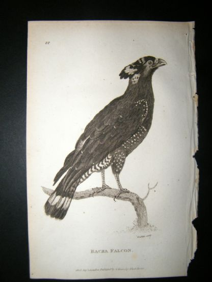 Shaw C1810 Antique Bird Print. Bacha Falcon | Albion Prints